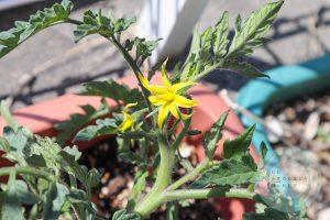 花を咲かせたトマト