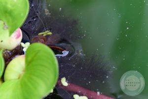 ホテイ草の根を使い少しでも水面に近づこうとするヌマエビ