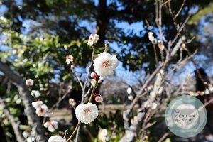 梅の花 01