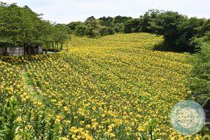 開園時の黄色いユリゾーン