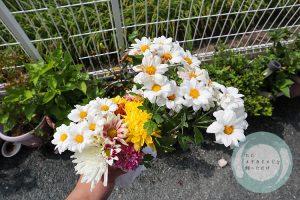カットした菊の花