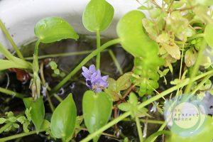コナギの花