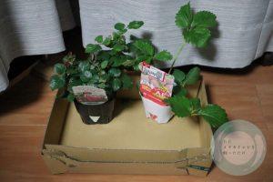 ミニバラと白いちごの苗