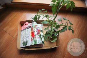 グラジオラスの球根とトマトの苗