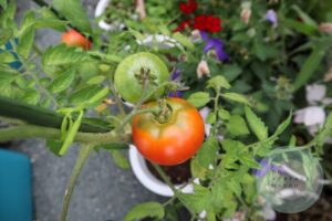 赤くなったトマト