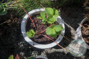 ランナーを置いた植木鉢