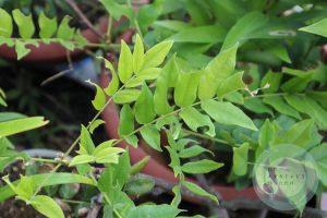 穴だらけの藤の葉