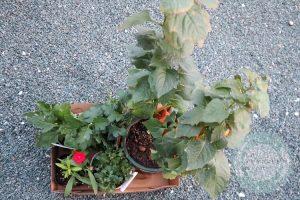 買った植物
