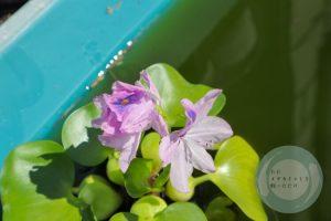 ホテイ草の花