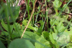 ミツバチらしき蜂